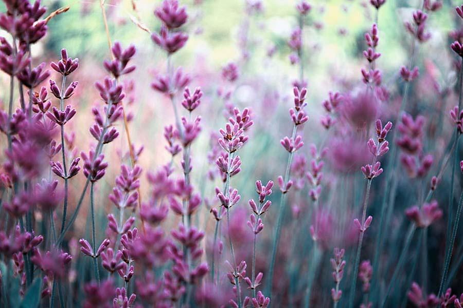Fototapeta do obývačky kvety - levanduľa 108