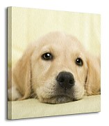 Golden retriever puppy - Obraz CKS0715