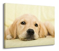 Golden retriever puppy - Obraz CD0715